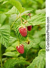 Several ripe red raspberries growing