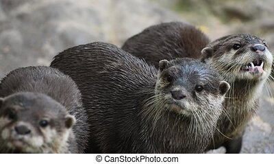 Several river otters run and scream on rocks - Close up view...