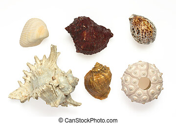 Several sea shells and sea urchins isolated on white background