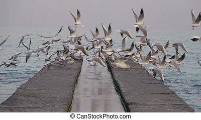 Several Seagulls Soar off the Concrete Pier. Slow Motion.