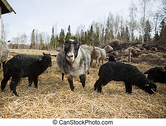 Several sheeps in a pasture