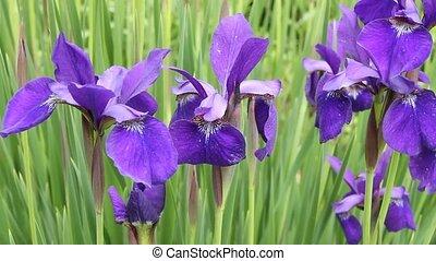 Siberian Iris - Several Siberian Iris plants blowing in a...