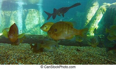 Several South American Specimens of Tropical Fish in a...