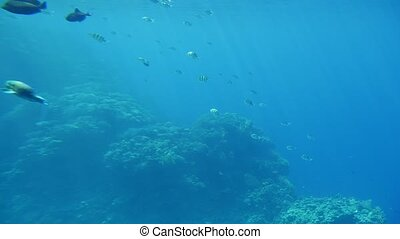 Several spherical fishes swimming over the reefs in...