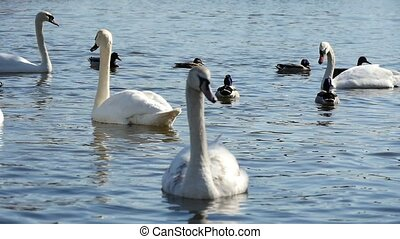 Several splendid white swans swimming peacefully among ducks...
