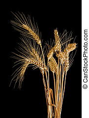 Several stems of wheat with spikelets on a black background