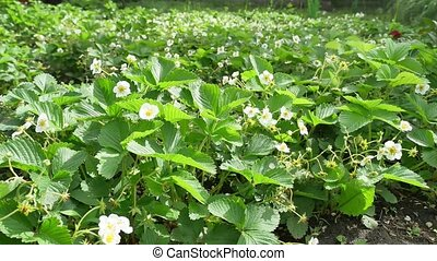 several strawberry flowers nature on the stem - several...