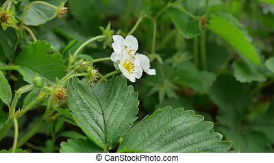 several strawberry flowers on the stem nature - several...