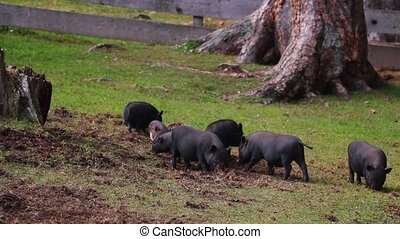 Several Vietnamese little pigs graze on the lawn with fresh green grass. Concept of bio, animal health, friendship, love for nature, vegan and vegetarian style, ecology, livestock, farming, nutrition.