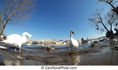 Several white swans are on the riverbank in Prague near the Charles bridge