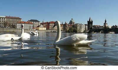 Several white swans swimming like aristocratic birds on the Vltava in slo-mo