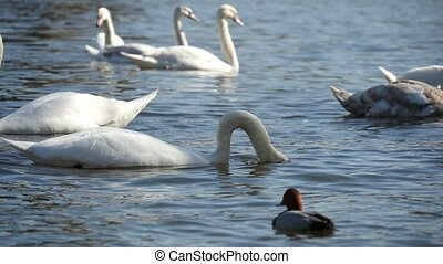 Several white swans swimminggracefully  on a river surface in slow-motion
