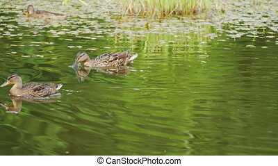 Several wild ducks floating on a pond overgrown, camera ...
