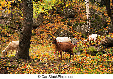 several wild goat in golden autumn forest