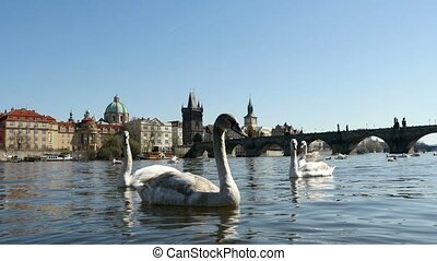 Several young white swans swimming together on the Vltava river in slow motion