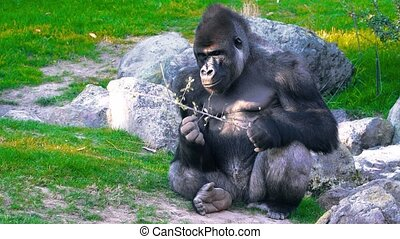 Severe Silverback Gorilla Eating on the green grass.