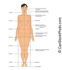 Sewing measurements. Shoulder line, breast line, waist line, etc.