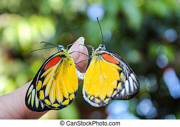 sex  of butterflys