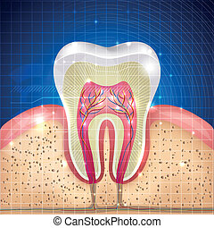 sezione, croce, dente
