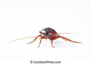 sfondo bianco, isolato, scarafaggio, insetto