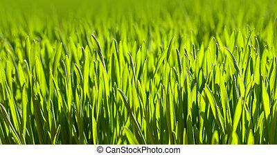 sfondo verde, primo piano, erba, fresco, primavera