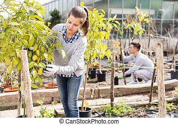 sguardo, orangery, secondo, frutta, due, lavorante, semenzali, albero