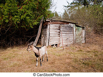 Shack and goat