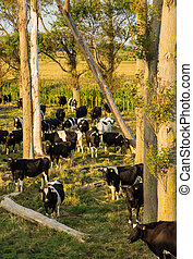 Herd of cows under some old trees.