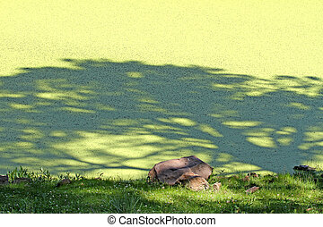 Shadow on Bootleg Lake - Pine shadow on duckweed covered...