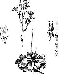 Shadow Saxifrage (Saxifraga umbrosa), vintage engraving.
