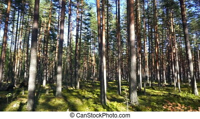 shadows of trees in north forest, pan view