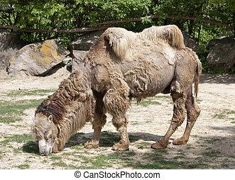 Shaggy bactrian camel - Bactrian camel (Camelus bactrianus)...