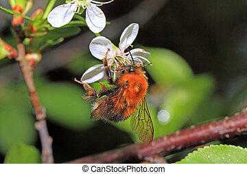 shaggy bumblebee on cherry flower