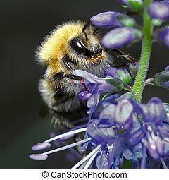 Shaggy bumblebee sitting on a blue flower