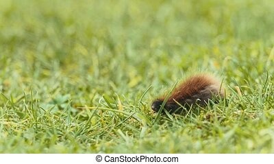 Shaggy caterpillar moving in fresh green grass, macro shot