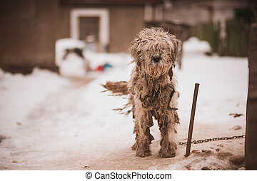 Shaggy chained old dog looking sad - Shaggy white chained...