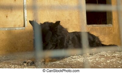 A black big shaggy dog lying in its cage in a shelter and waiting to volunteer
