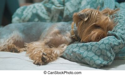 shaggy dog Yorkshire Terrier asleep on the bed is bored. sad...