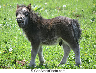 Shaggy Fluffy Miniature Horse Foal in Lancaster County -...