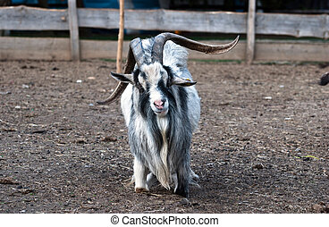 Shaggy haired goat on the farm - Image of shaggy haired goat