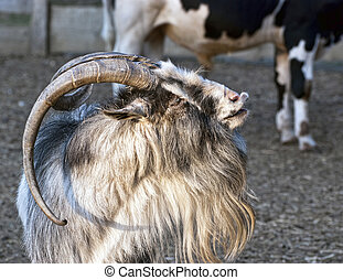 Shaggy haired goat - Goat looks left by sunset
