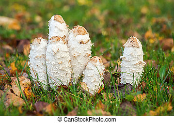 Group of four Shaggy Ink Caps in wet grass during autumn, Coprinus comatus