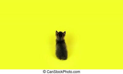 Adorable small shaggy kitten with long ears looks up sitting at bright yellow background in professional studio backside view