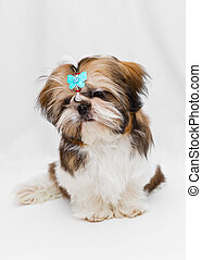 Shaggy puppy Shih Tzu sits on a white background
