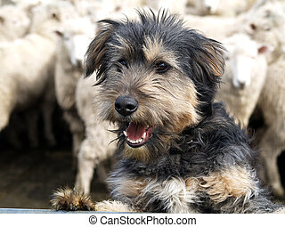 Shaggy Sheep Dog - A beardy sheep dog looking over the rail