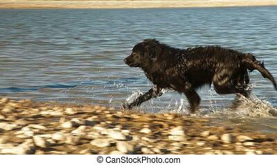 Shaking Dog - Newfoundland Dog Enjoying In Water