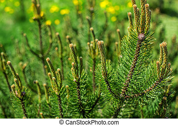 Shallow depth of field photo, young fir with blurred dandelions in back on a sunny day. Abstract spring forest background.