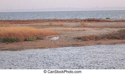 Shallow Egret Egretta garzetta - Walking along the sand spit...
