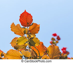 Shallow focus on bright red leaves and clear blue sky