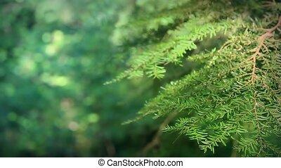 Shallow Focus Tree Branch Loop - Looped %u2013 Pine tree...